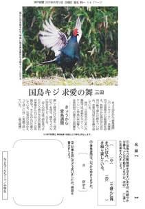 国鳥キジ 求愛の舞