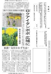神戸で発見 新種の可能性 ロクアイタンポポ広域に